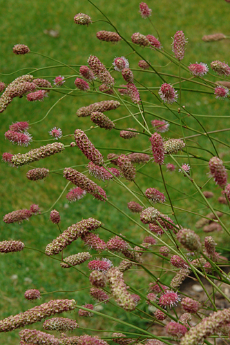 Sanguisorba Rock and Roll4855