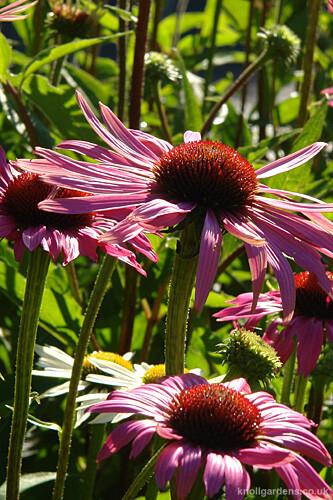 Echinacea Rubinstern7793