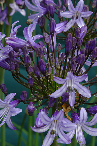 Agapanthus Pretty Sandy4938