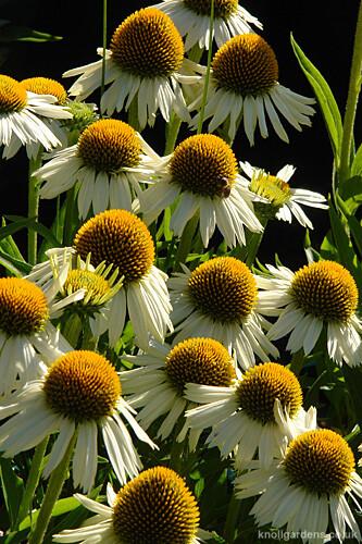 Echinacea White Meditation7755