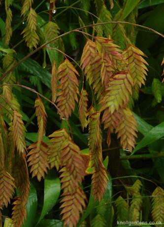 Chasmanthium latifolium3885