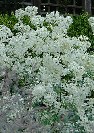Thalictrum Splendide White4027