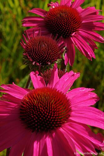 Echinacea Sensation Pink4831