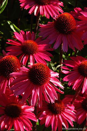 Echinacea Sensation Pink7741