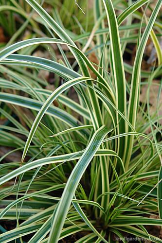 Carex Evercream0636