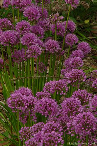 Allium Millenium2106