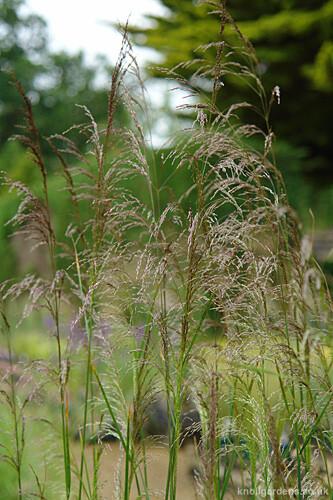 Deschampsia Goldgehange1394